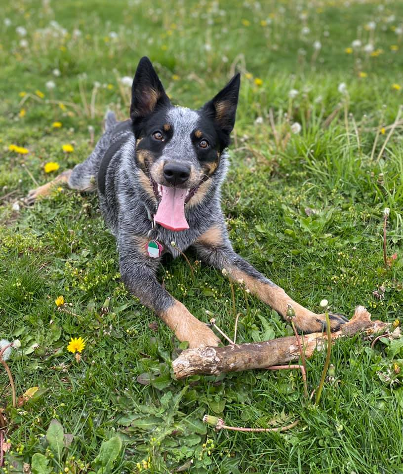 Texas Heeler in the grass with a big stick