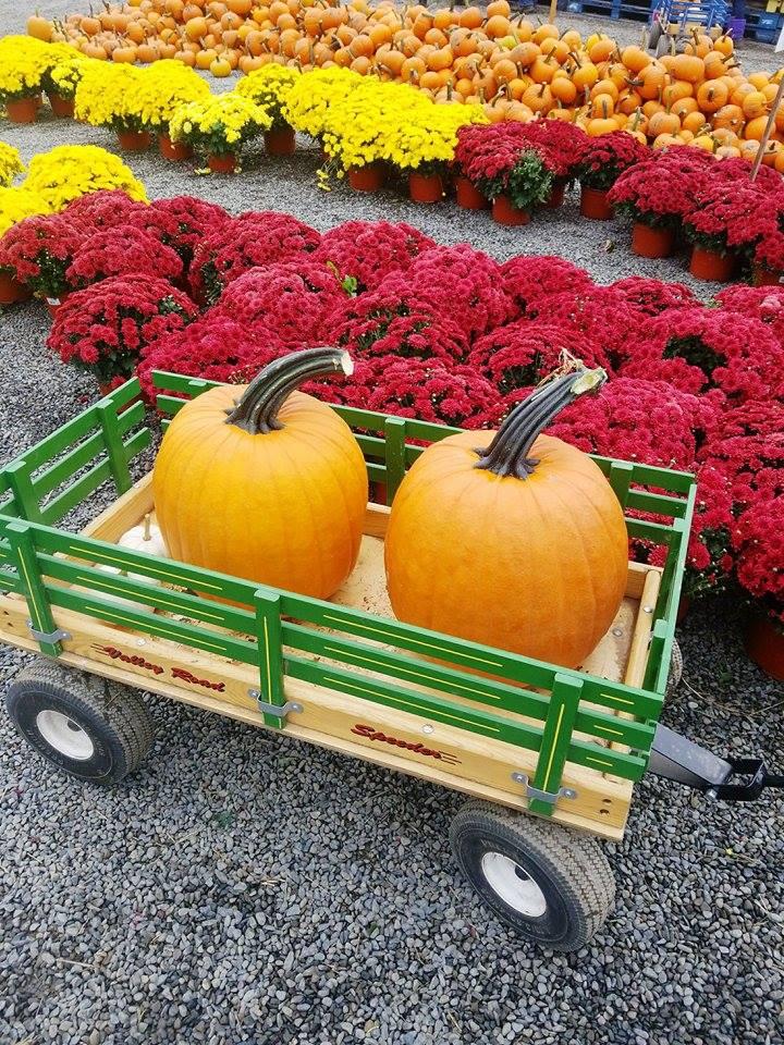 pumpkins in poconos